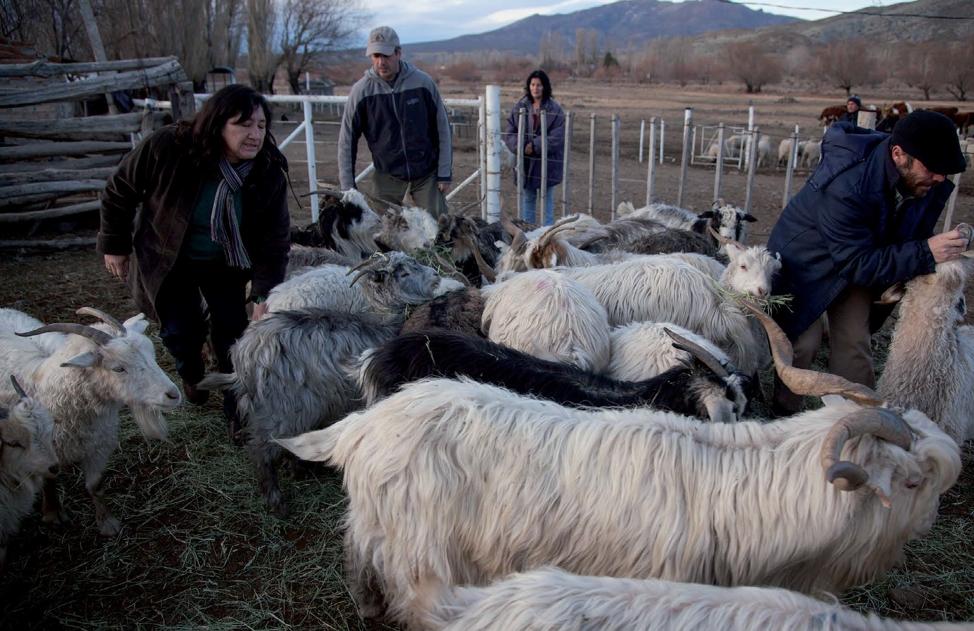 Caso 3: Cabras criollas