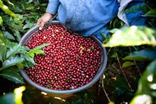 Early warning system for coffee rust