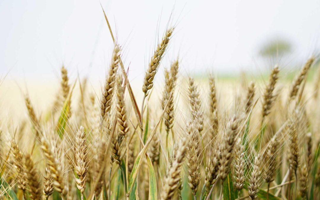 Genotipos resistentes de Cebada a Roya Amarilla y Mancha Borrosa