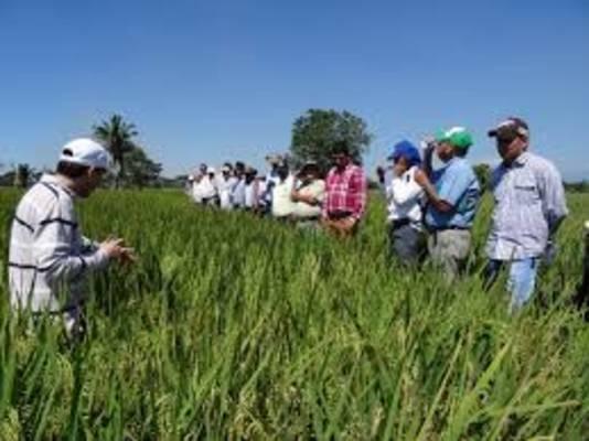 Nuevas variedades de arroz resistentes al CAHB