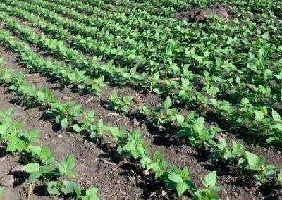 Método de cultivo biointensivo de maíz y frijol para el Corredor Seco de Centroamérica
